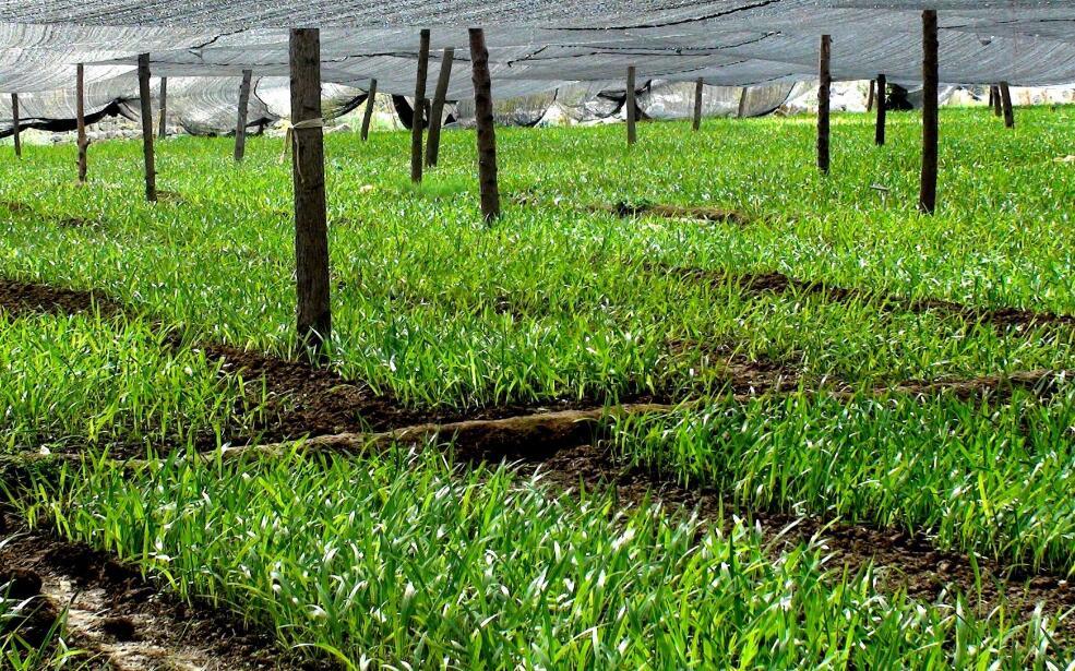 农业抗旱中保水剂的应用